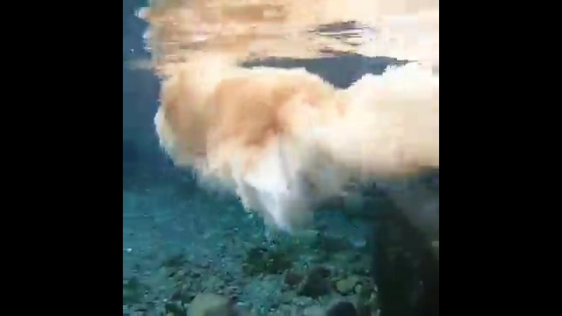 Японская собака, любящая подводное плавание, покорила интернет.