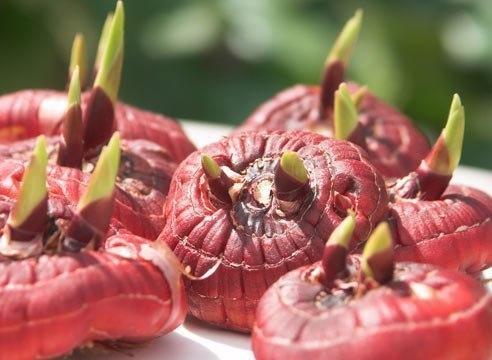 КАК УБЕРЕЧЬ ГЛАДИОЛУСЫ ОТ ПРОВОЛОЧНИКА При посадке растений или луковиц в почву внесите в лунки 1 столовую ложку грунта Защита. В нем есть живая хищная нематода Немабакт, которая питается