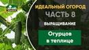 Выращивание и уход за огурцами в теплице - Идеальный огород. Часть 7