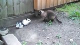 Siamese Cat Attack Buster The Bunny