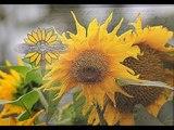 Sasha Manik - Primal Sunflower
