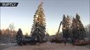 Под самый корешок: в Подмосковье срубили главную новогоднюю ель