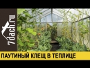 👩🌾 Паутинный клещ в теплице- что делать Рецепты спасения - 7 дач