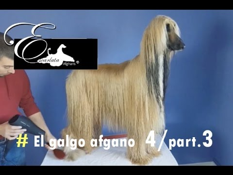Documental del galgo afgano - Video 4 - (Part.3) - Peluquería del galgo afgano
