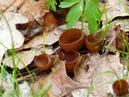 Думонтиния шишковатая, или клубневая (Dumontinia tuberosa)