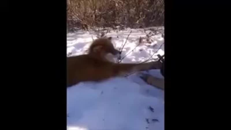 Вызволили лису из капкана