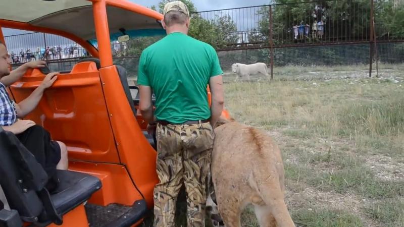 Лев ФИЛЯ дает жару посетителям Саванны ! Тайган .Крым