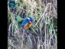 Зимородок Kingfishers