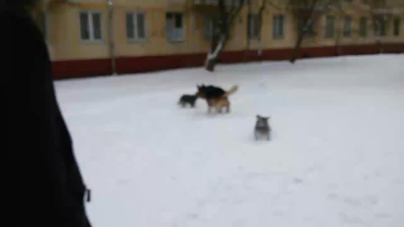 14 декабря овчарка Якир и мои цвергуши Гагарин и Титов