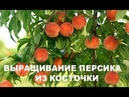 1-я часть. Сажаю персик из косточки. Как расколоть косточку персика легко