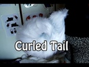 //Tutorial #26// Curled Tail