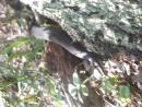 Чёрная гадюка в Оредежском лесу