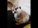 A meerkat desperately trying to stay awake. <- this is cute and horrifying at the same time
