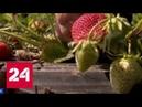 В Крыму собрали первый урожай клубники Россия 24