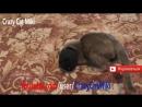 кошка играет с носком ,смешные животные видео 15