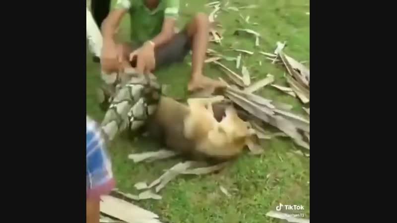 Дети спасают свою собаку от огромной змеи