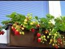 Земляничный Рай на балконе