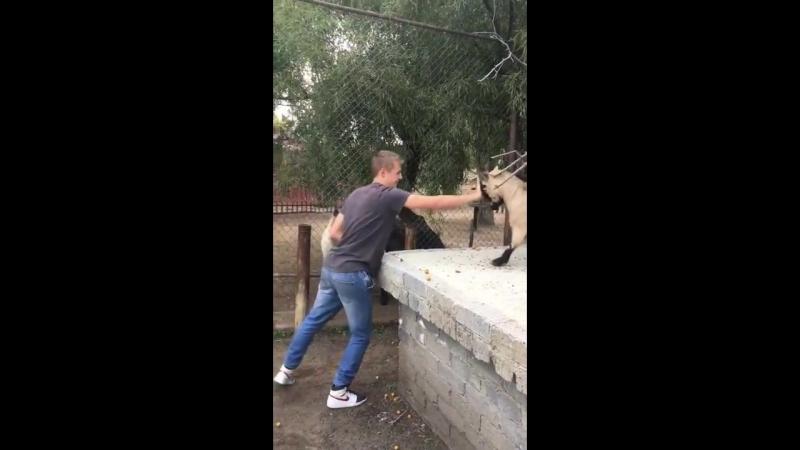 Goat headbutt high five
