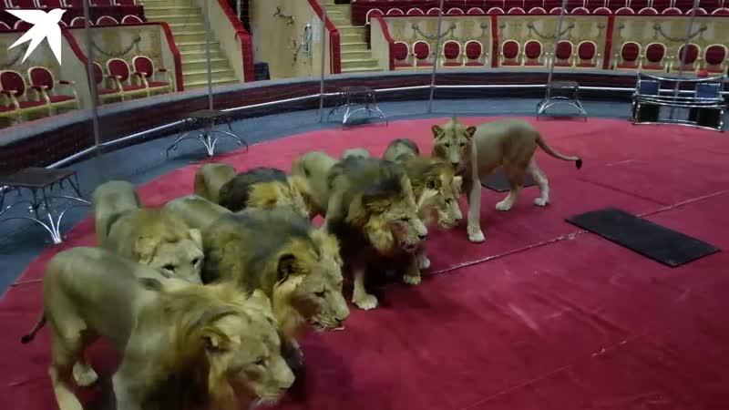В клетке со львами репетиция дрессировщика цирка на Фонтанке