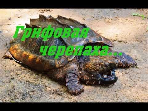 Грифовая черепаха - В мире Природы