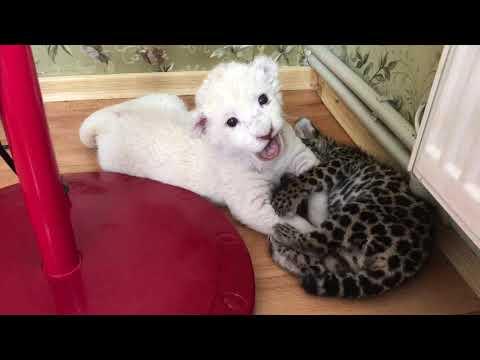 Белый львенок и ягуар White lion cub and jaguar