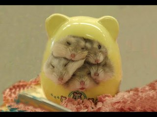 THE CUTEST BABY HAMSTERS VIDEO COMPILATION