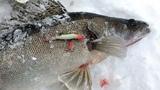 Зимняя рыбалка. За Судаком на Волгу. (жерлицы).