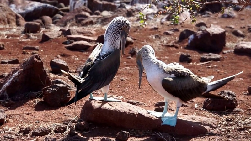 Dance of the Blue Foot Booby