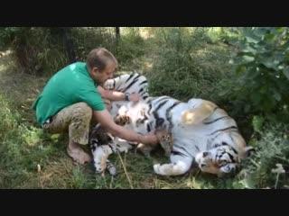 Амурская тигрица Василиса принимает чужих малышей