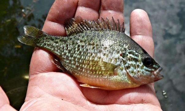 Калифорнийский солнечный или радужный окунь в природе и аквариуме Родиной солнечного окуня принято считать Северную Америку, именно оттуда и была впервые завезена эта радужная рыбка. В самом