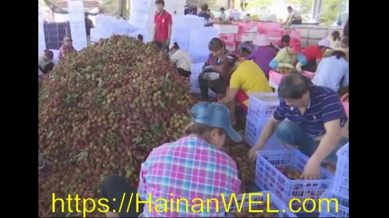 Сезон лиджи (личи) начался в Санья, остров Хайнань, Китай - экскурсия на видео