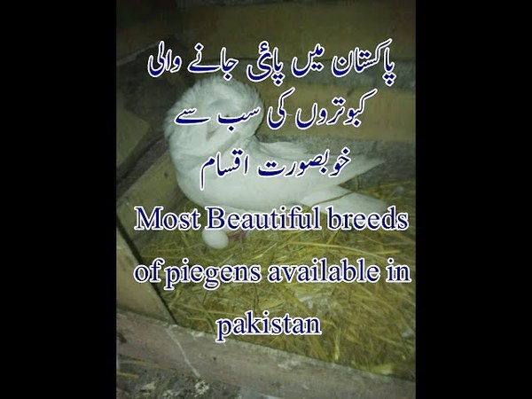 Beautiful Breeds of Pigeons Available in Pakistan | one of Most beautiful Allah creation on Earth