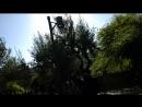 24 Гефсиманский сад, 8 древних олив