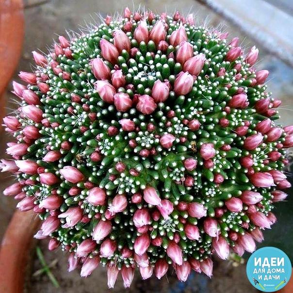 Цветущие кактусы прекрасны!