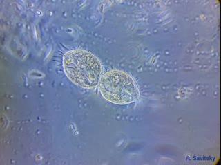Деление инфузории urostyla sp. фазовый контраст. 500х