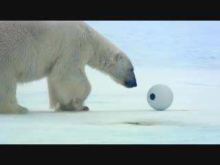 Spy in the Snow - The_Polar_Bears_play_with_Snowball_Cam