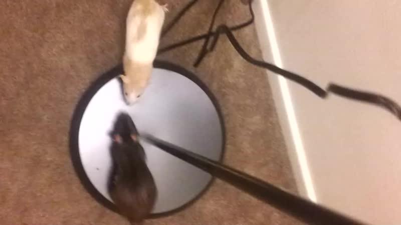 Cute Rat Performing Fireman Trick