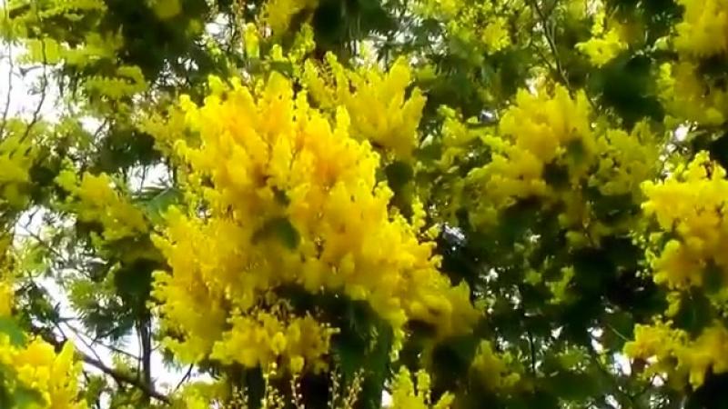 так цветёт мимоза