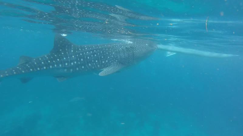 Ослоб Китовые акулы