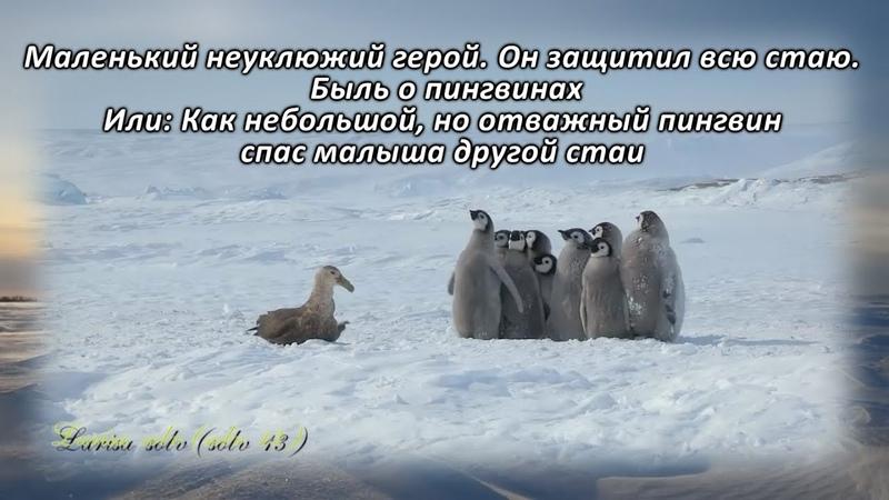 Адели маленький герой Как небольшой но отважный пингвин спас малыша другой стаи