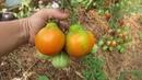 обзор сортов томатов в парнике на 20 08 17 г