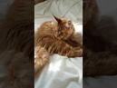 Лето, жара На даче Ушастик, пушистик и просто красавец котик Мейн кун красный солид