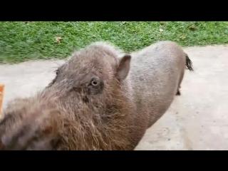 очень дикая бородатая свинья