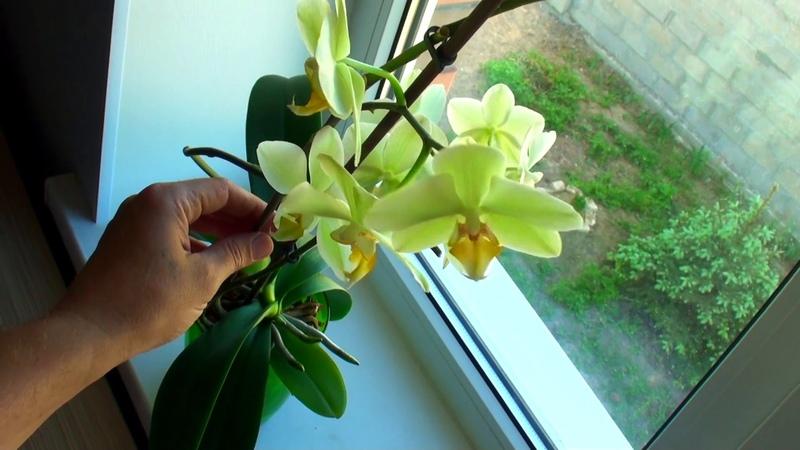 СПОСОБ ПОЛИВА ОРХИДЕИ изменил и растет 4 й цветонос