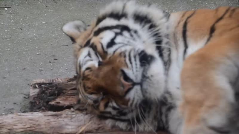 Амурский тигр СКИФ