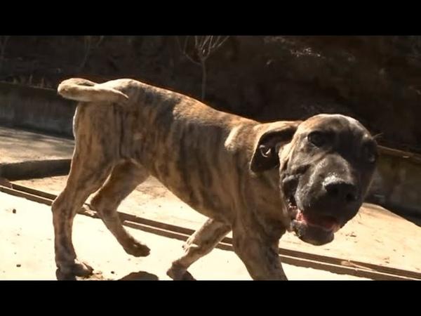 Канарский дог. Планета собак 🌏 Моя Планета