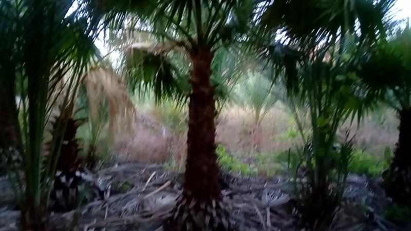джунгли из вашингтоний и фиников канарцев