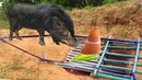 Awesome Quick Wild Pig Trap Using Rubber Bamboo Deep Hole Trap That Work 100 By Smart Boy
