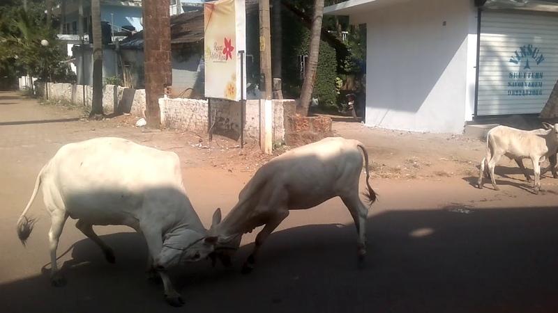 GOA INDIA THE FIGHT FOR SUPREMACY IN ARPORA