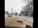 В Цивильске автомобилист намеренно наехал на стаю собак и выложил видео в сеть